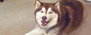 Bear-Bear, the siberian husky who was shot by Keith Shepherd