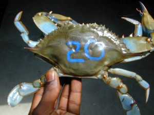 BlueCrab_SERC