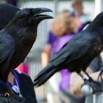 Ravens_041
