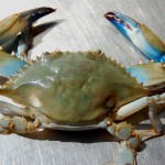 CBMM to present State of the Crab