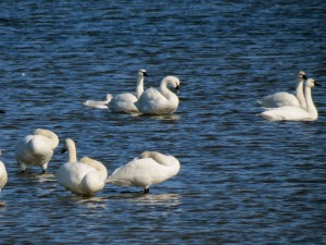 CBMM_WaterfowlingCruise_Swan_Oct24