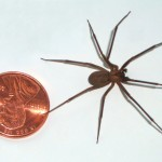 Brown Recluse Spider: Note size is small!