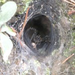 Funnel Weaver Spider: Harmless