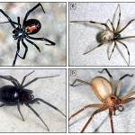 Black Widow (a), Brown Recluse (b) and two lookalikes.