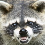 County's Raccoon Oral Rabies Vaccination program begins tomorrow