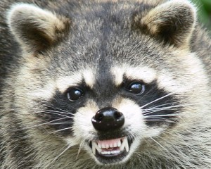 County seeks woman who turned in raccoon to Arnold Pet Station