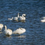 Waterfowl-watching river cruise, October 24th