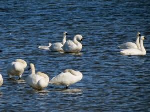 CBMM_WaterfowlingCruise_Swan_Oct24