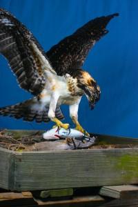 Osprey 1
