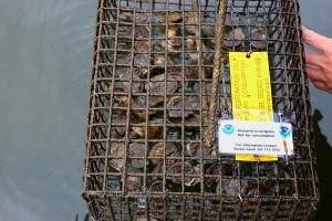 AYC NOAA Oyster Study 2