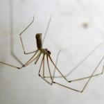 Cellar Spiders: Harmless