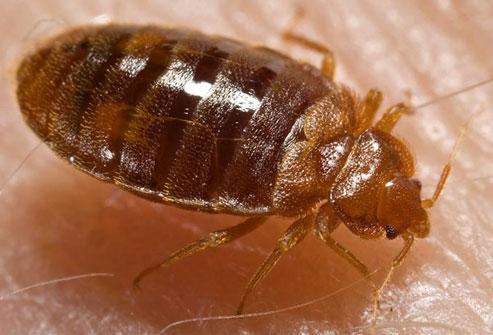 Bed Bugs--Yuk!