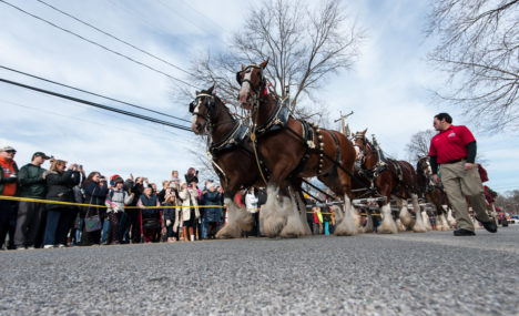 They're baaack.  Famous Budweiser Clydesdales to return for Military Bowl and appearance in West Annapolis